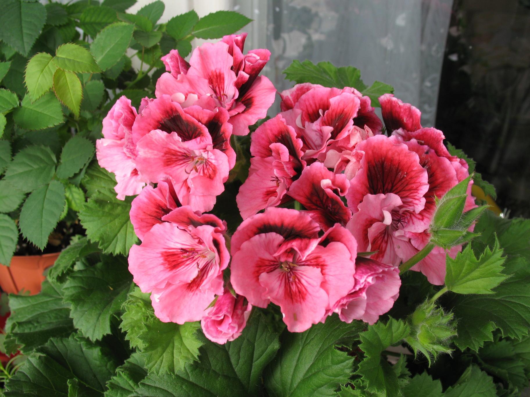 Фото цветов герань королевская