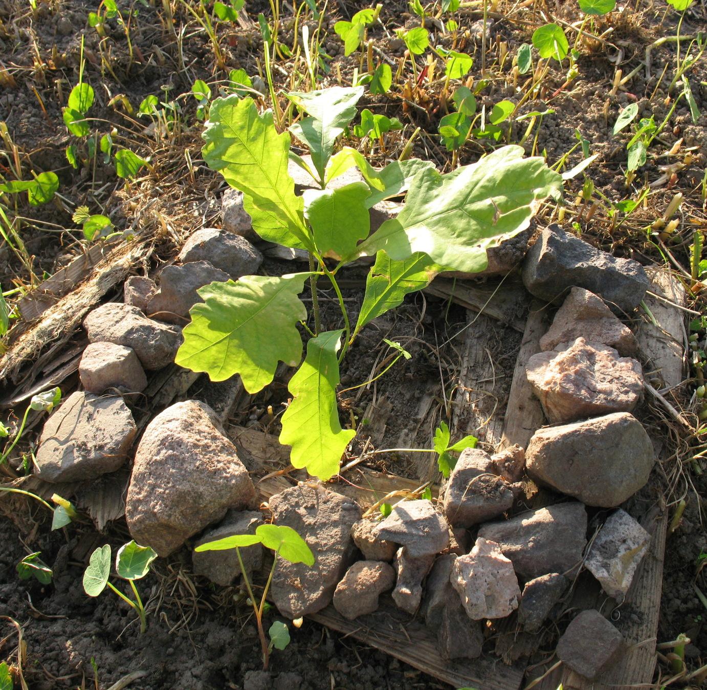 Почва для выращивания дуба 57