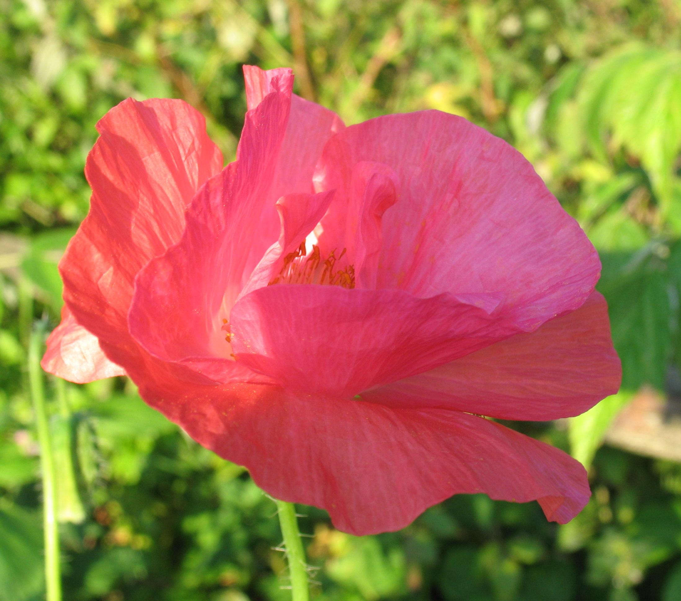 Цветы маки махровые фото